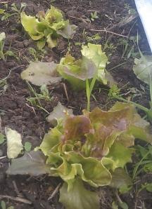 lettucenibbles